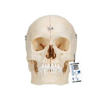 BONElike™ mänskligt benigt kranium, 6 delar