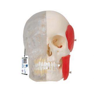 BONElike™ mänsklig kraniummodell, halva transparent & halva benig, 8 delar
