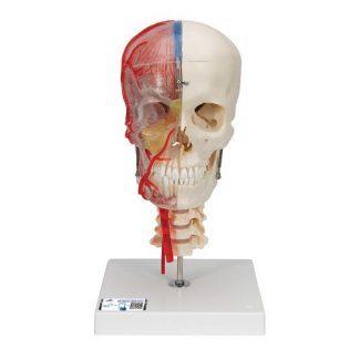 BONElike™ kraniummodell, halvt transperant & halvt benig, med hjärna och kotor