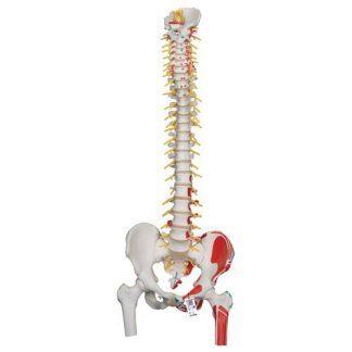 Deluxe flexibel ryggradsmodell med lårbenshuvud, målade muskler & sakral öppning