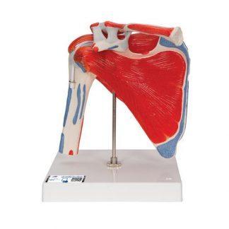 Ledmodell av mänsklig axel med rotatorkuff & 4 avtagbara muskler, 5 delar