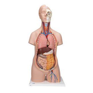 Klassisk Unisex mänsklig torsomodell, 12 delar