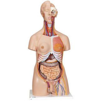 Deluxe dubbelkönad mänsklig torsomodell, 24 delar