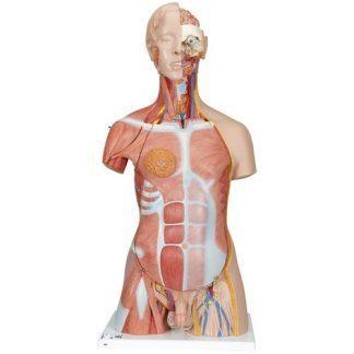 Deluxe dubbelkönad mänsklig muskeltorsomodell, 31 delar