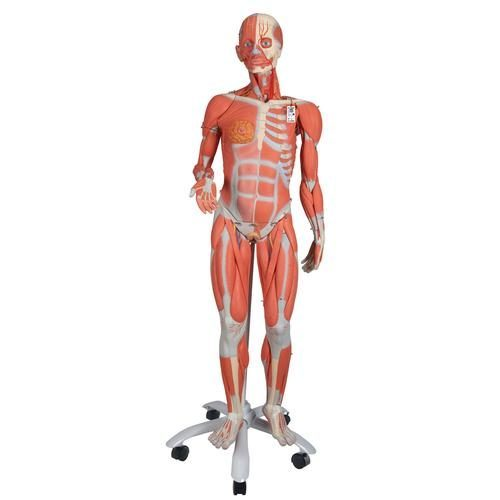 Kvinnlig muskelmodell i 3/4 naturlig storlek utan organ, metallstativ, 23 delar