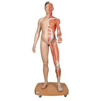 Dubbelkönad asiatisk figur i naturlig storlek, halv sida med muskler, 39 delar