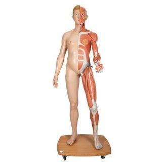 Dubbelkönad mänsklig figur I naturlig storlek, halv sida med muskler, 39 delar