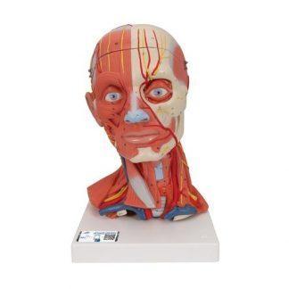 Muskulaturmodell huvud och nacke, 5 delar