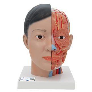 Asiatisk Deluxe huvudmodell med hals, 4 delar