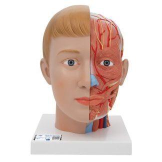 Mänskligt huvudmodell med hals, 4 delar
