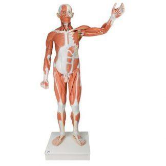 Mänsklig manlig muskelfigur i naturlig storlek, 37 delar