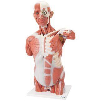 Mänsklig muskeltorsomodell i naturlig storlek, 27 delar
