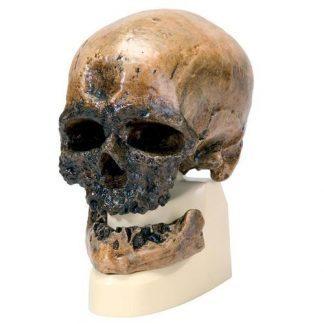 Replika Homo Sapiens-kranium (Crô-Magnon)